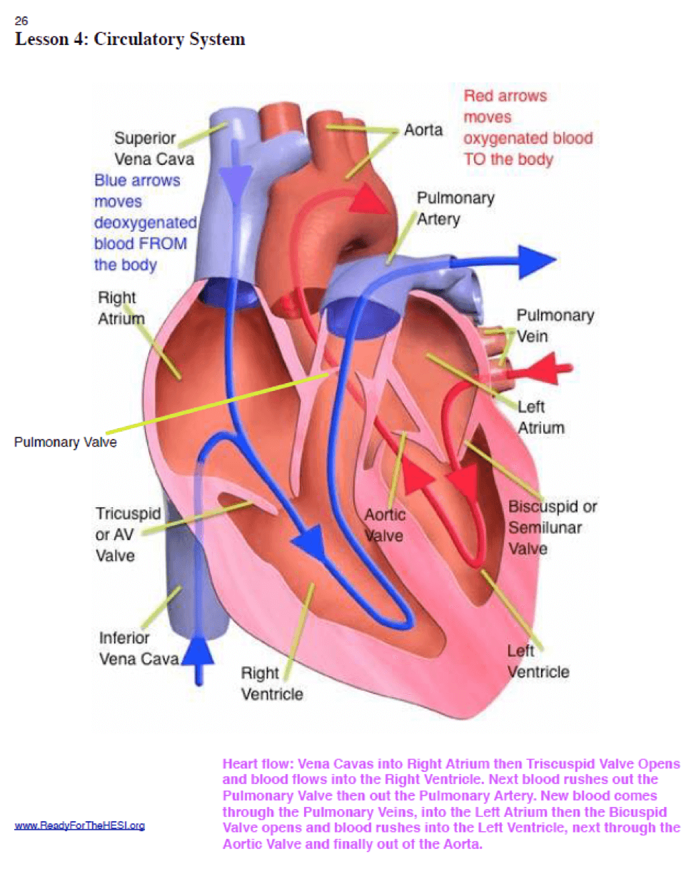 The Ultimate Guide To Scoring High On Hesi A2 Anatomy And Labeled Diagram Of Heart Picture Is Part Today We Give This Will Be Very Useful As It Provides A Visual How Blood Flows Via Its Major Structures